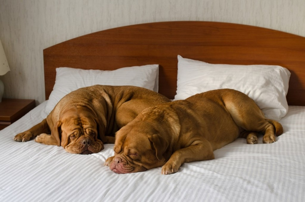 chien-sur-lit-hotel